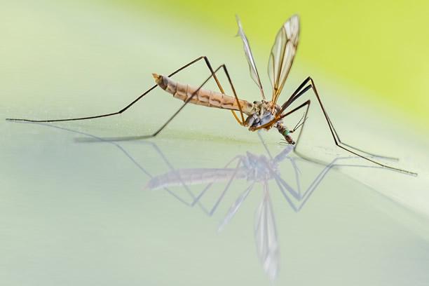 Komar i komarzyca które z nich gryzie i co odstrasza komary?